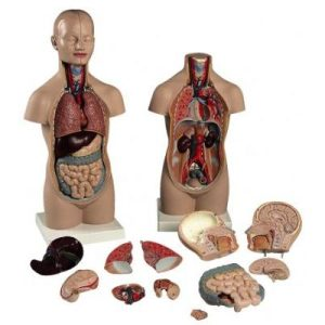 Anatomical model torso with headC70074